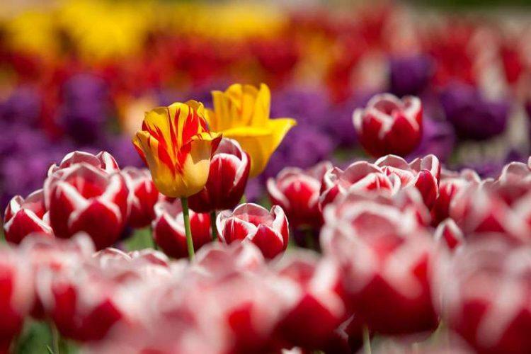 Tulipe : conseils de plantation et d'entretien