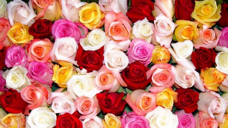 Comment entretenir des roses ?