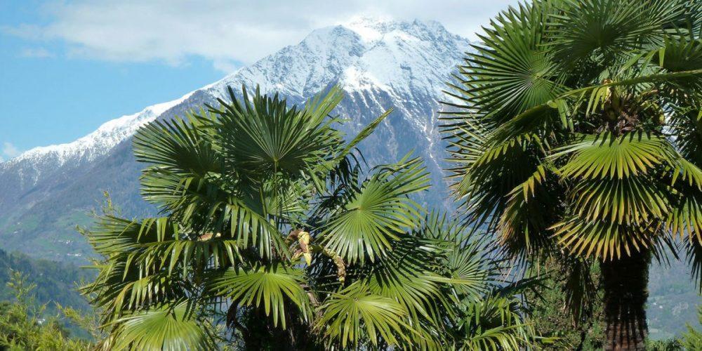 Palmiers : conseils de plantation et d'entretien