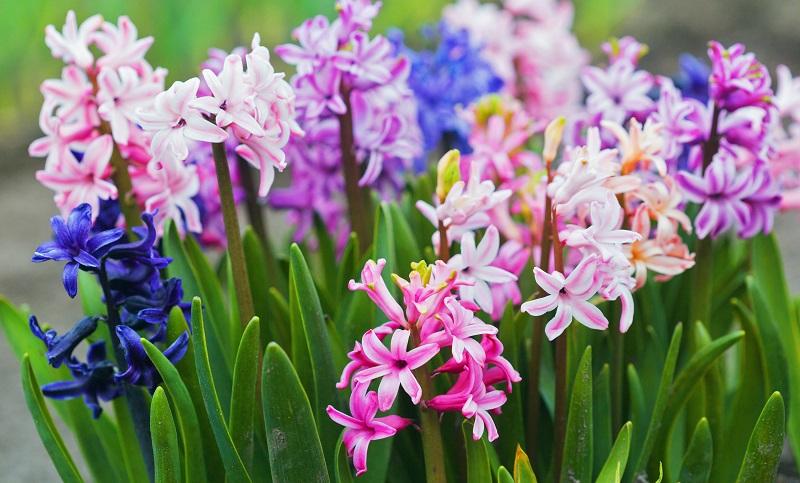 Fleurir votre jardin au printemps avec des bulbes à fleurs